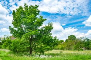 大きな木と青空